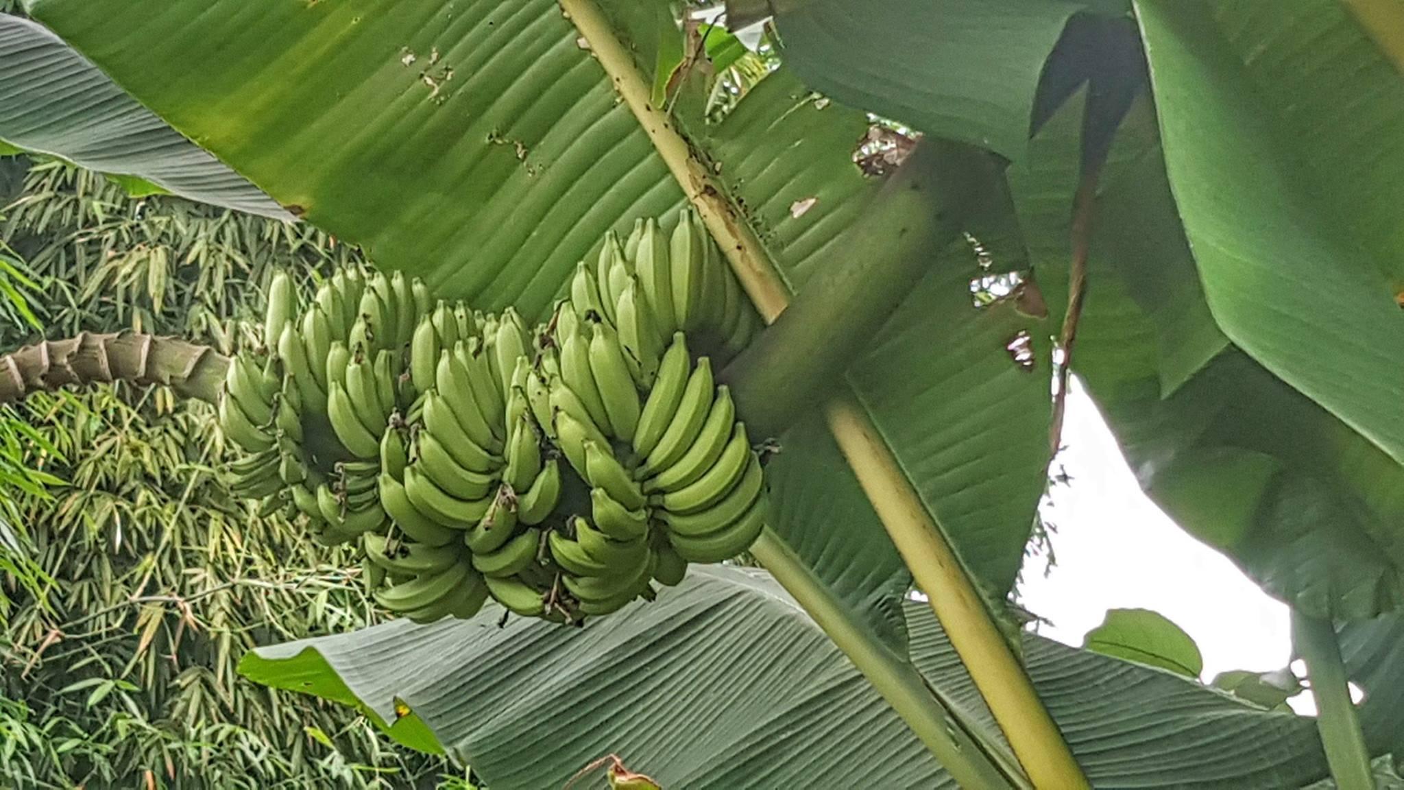 Image result for กล้วยป่า